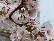 さくら咲く!!たくさんお散歩しました