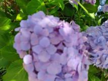 きものdeおでかけ~本土寺で紫陽花を見よう~